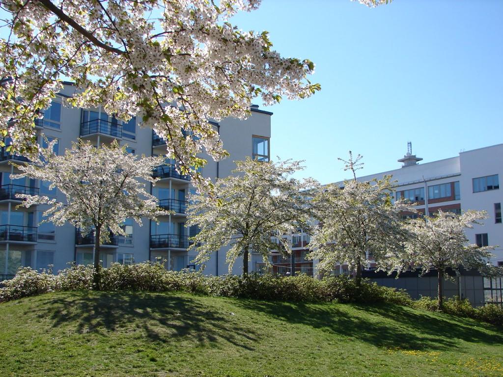 Цветущая сакура вокруг домов в суровом климате Швеции